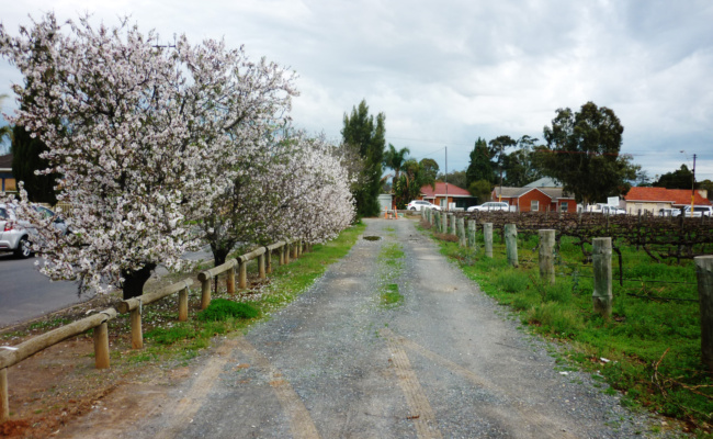 Almond blossom and grape vines in Marion